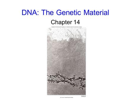 DNA: The Genetic Material Chapter 14. 2 DNA Structure DNA is a nucleic acid. The building blocks of DNA are nucleotides, each composed of: –a 5-carbon.