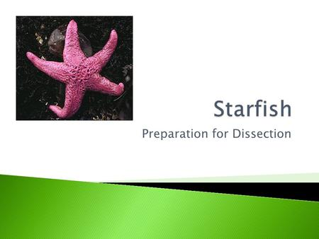 Preparation for Dissection.  Phylum Echinodermata, class Asteroidea  Brittle Stars are in the class Ophiuroidea  Sharp spines, radial symmetry, and.