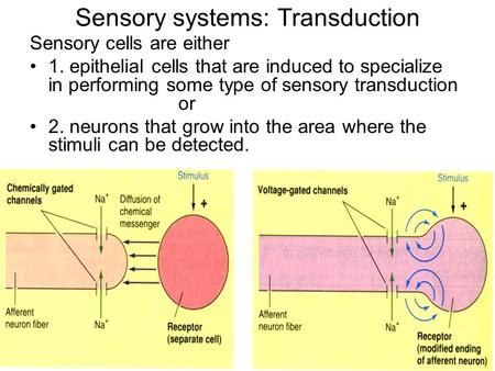 Sensory systems: Transduction Sensory cells are either 1. epithelial cells that are induced to specialize in performing some type of sensory transduction.