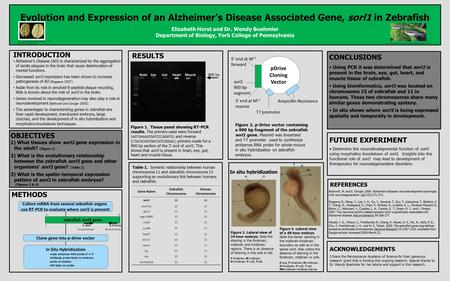 1 5,466 6,938 bp Forward Primer Reverse Primer zebrafish sorl1 gene Evolution and Expression of an Alzheimer's Disease Associated Gene, sorl1 in Zebrafish.
