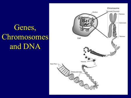 Genes, Chromosomes and DNA. Genes and alleles A gene is a section of DNA that carries the information for a particular trait (characteristic) eg. Eye.