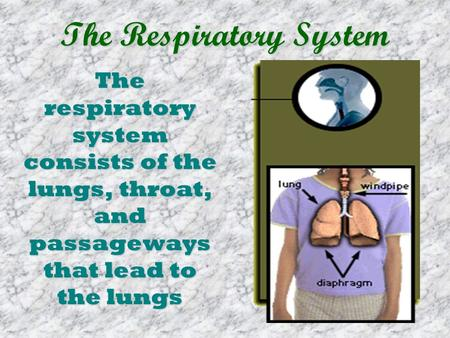 The Respiratory System The respiratory system consists of the lungs, throat, and passageways that lead to the lungs.