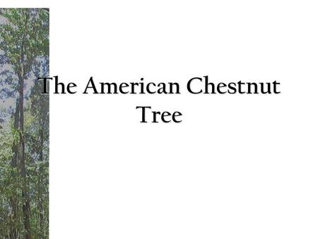 The American Chestnut Tree. During today's lesson students will be able to: 1. Explain how the backcross breeding method works and is helping to develop.