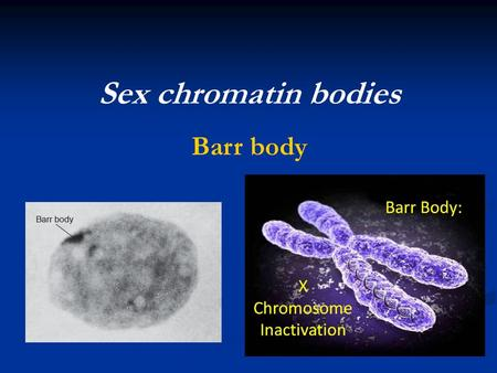 Sex chromatin bodies Barr body.