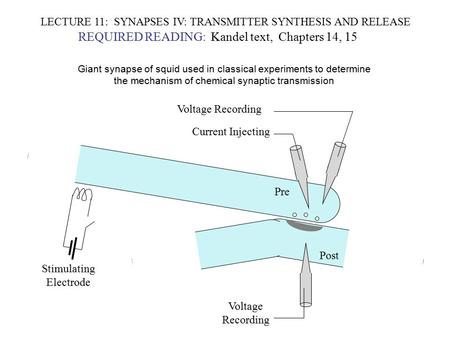LECTURE 11: SYNAPSES IV: TRANSMITTER SYNTHESIS AND RELEASE REQUIRED READING: Kandel text, Chapters 14, 15 Giant synapse of squid used in classical experiments.