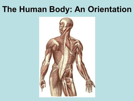 The Human Body: An Orientation. Anatomical Position Body standing upright feet slightly apart palms facing forward thumbs point away from body.