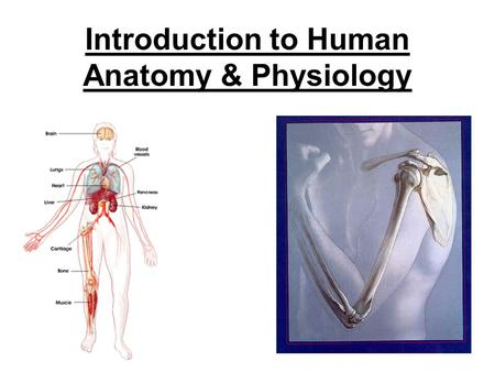 Introduction to Human Anatomy & Physiology THE HUMAN BODY Anatomy Ana- up, temos/tomos- cutting –Dissections Study of the structures in the body Physiology.