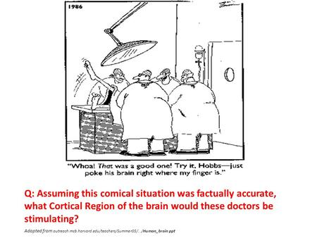 Q: Assuming this comical situation was factually accurate, what Cortical Region of the brain would these doctors be stimulating? Adapted from outreach.mcb.harvard.edu/teachers/Summer05/.../Human_brain.ppt.