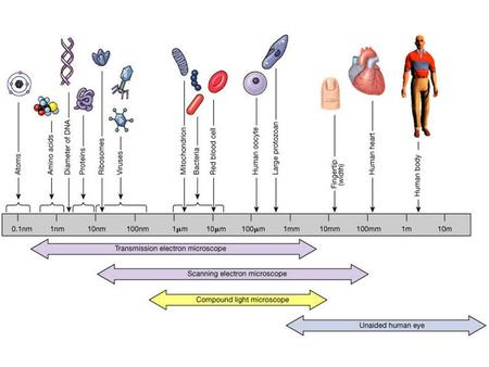 Levels of Organization Organ Systems of the Body.