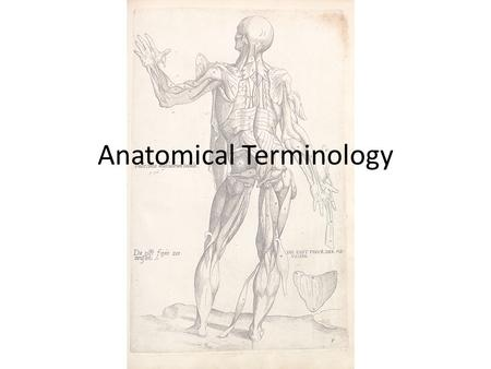 Anatomical Terminology. Directional Terms Used by medical personnel and anatomists allowing them to explain exactly where on body structure is in relation.