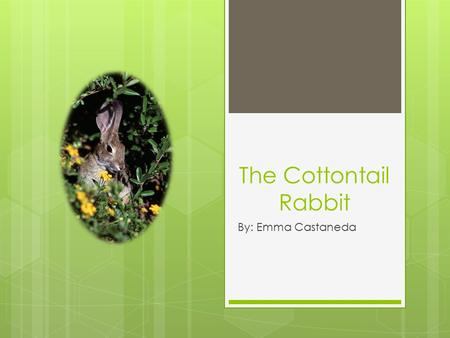 The Cottontail Rabbit By: Emma Castaneda. Cottontail rabbit- What is it? The cottontail rabbit is a mammal spread from Canada down the East Coast, all.