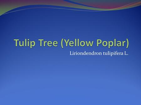 Tulip Tree (Yellow Poplar)