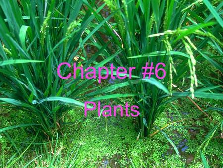 Chapter #6 Plants. Section 6.1 Plant Classification Chloroplast- where photosynthesis takes place. Chlorophyll- is a chemical that gives plants their.