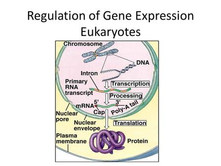 Regulation of Gene Expression Eukaryotes. I. Regulation at Stages A. All organisms prokaryotes and eukaryotes alike have to regulate which genes are expressed.