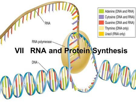 VII RNA and Protein Synthesis. Genes, segment of DNA, are coded DNA instructions that control the production of proteins. Genetic messages can be decoded.