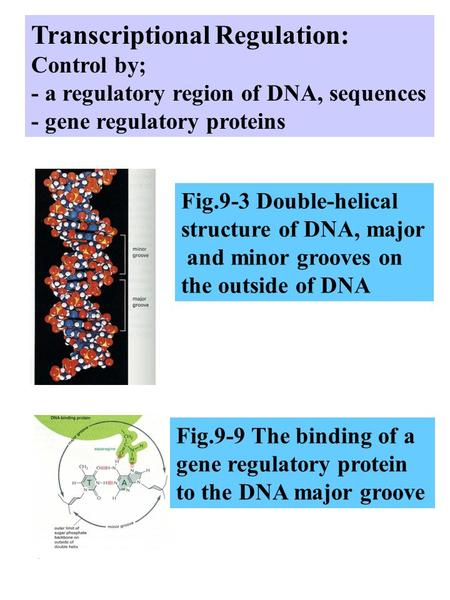 Transcriptional Regulation: Control by; - a regulatory region of DNA, sequences - gene regulatory proteins Fig.9-3 Double-helical structure of DNA, major.