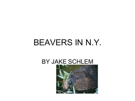 BEAVERS IN N.Y. BY JAKE SCHLEM. N.Y. STATE BEAVER The beaver is the official animal of the state of N.Y. Beavers are semi-aquatic rodents and are native.