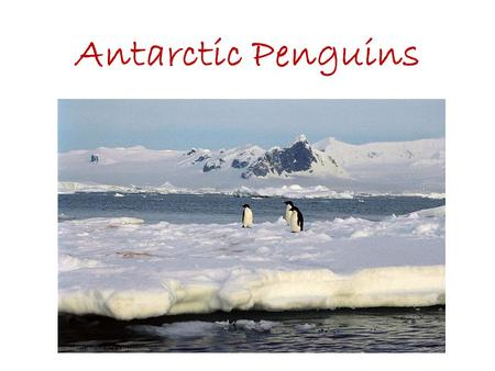 Antarctic Penguins. Adelie Penguin Pygoscelis adeliae Height: 70cm (27.5inches) Weight: 5kg (11lb) Breeding Season: November – February Distribution: