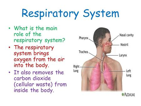 Respiratory System What is the main role of the respiratory system? The respiratory system brings oxygen from the air into the body. It also removes the.