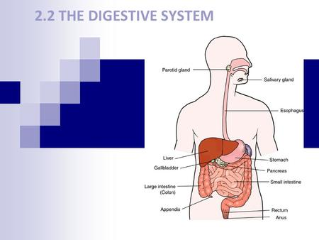 2.2 THE DIGESTIVE SYSTEM. Function Breaks down food, absorbs nutrients, and eliminates solid waste The body's digestive system completes four tasks: 1)