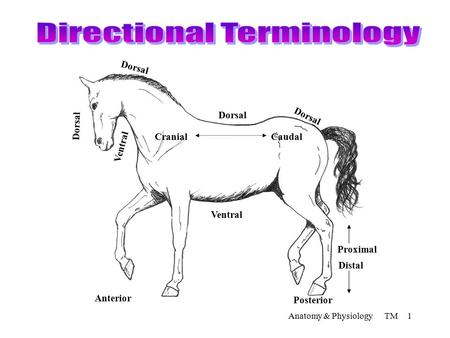 Anatomy & Physiology TM 1 Dorsal Caudal Ventral Cranial Distal Proximal Posterior Anterior Ventral.
