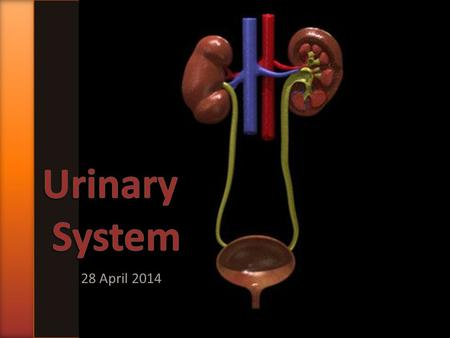 28 April 2014. » The urinary system produces urine. The production of urine has three main functions: 1)Excretion of waste products of metabolism, especially.