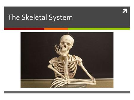  The Skeletal System. Parts of the skeletal system  Bones (skeleton)  Joints  Cartilages  Ligaments.