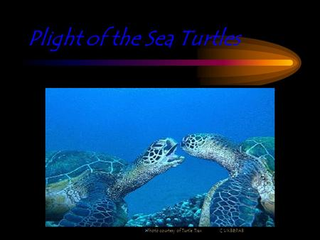 Plight of the Sea Turtles  Photo courtesy of Turtle Trax C UKB&PAB.