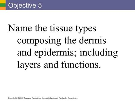 Copyright © 2006 Pearson Education, Inc., publishing as Benjamin Cummings Objective 5 Name the tissue types composing the dermis and epidermis; including.