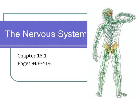 Chapter 13.1 Pages 408-414 The Nervous System. Introduction The Organization of the Nervous System.