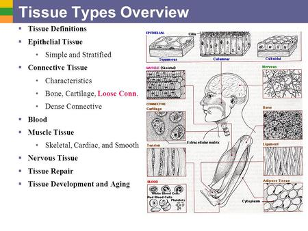 Tissue Types Overview  Tissue Definitions  Epithelial Tissue Simple and Stratified  Connective Tissue Characteristics Bone, Cartilage, Loose Conn. Dense.