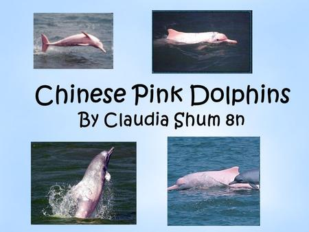 Chinese Pink Dolphins By Claudia Shum 8n. What are Pink Dolphins? Pink Dolphins belong to the Cetaceans family. Cetaceans are mammals which means they.
