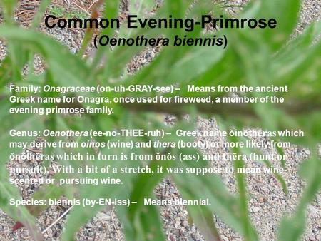 Common Evening-Primrose (Oenothera biennis) Family: Onagraceae (on-uh-GRAY-see) – Means from the ancient Greek name for Onagra, once used for fireweed,