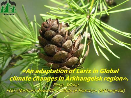 «An adaptation of Larix in Global climate changes in Arkhangelsk region». Elena Surina FGU «Northern Research Institute of Forestry»(Arkhangelsk) FGU «Northern.