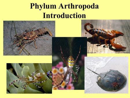 Phylum Arthropoda Introduction. Largest phylum of animals Over 900,000 species described includes: –spiders, scorpions, mites, ticks –insects, millipedes,