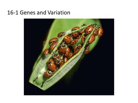 16-1 Genes and Variation. How Common Is Genetic Variation? Many genes have at least two forms, or alleles. All organisms have genetic variation that is.
