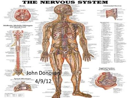 The Nervous System Miranda Schmidt What Is The Nervous System