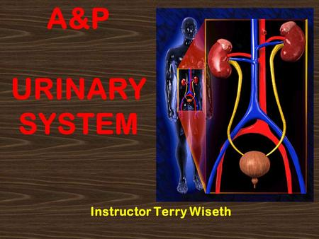 A&P URINARY SYSTEM Instructor Terry Wiseth. 2 Urinary Anatomy Kidney Ureter Bladder Urethra.