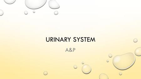 URINARY SYSTEM A&P. URINARY SYSTEM AKA EXCRETORY SYSTEM REMOVES WASTES & EXCESS WATER MAINTAIN ACID-BASE BALANCE HELPS MAINTAIN BODY'S HOMEOSTASIS.