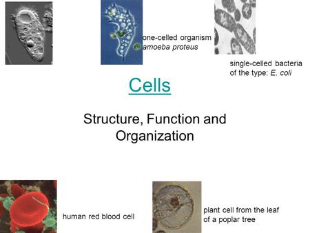 Cells Structure, Function and Organization one-celled organism amoeba proteus human red blood cell plant cell from the leaf of a poplar tree single-celled.