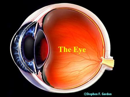 The Eye. Major Parts of the Eye Cornea- –clear, transparent portion of the outer coat of the eyeball through which light passes to the lens. Iris -