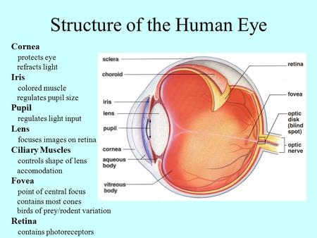 Structure of the Human Eye Cornea protects eye refracts light Iris colored muscle regulates pupil size Pupil regulates light input Lens focuses images.