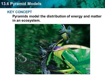 13.6 Pyramid Models KEY CONCEPT Pyramids model the distribution of energy and matter in an ecosystem.