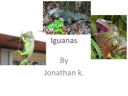Iguanas By Jonathan k.. What are Iguanas? Iguanas belong to a family of lizards called Iguanidee. Also iguanas are Omnivores unlike other lizards, most.