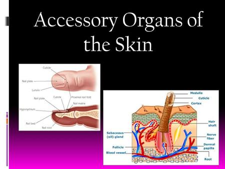 Accessory Organs of the Skin. Hair Characteristics  Location: Almost everywhere (soles, palms, lips ect.)  Structure:  Hair follicle- organs producing.