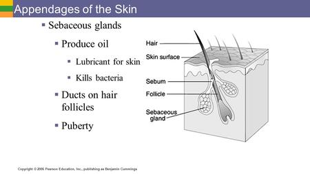 Copyright © 2006 Pearson Education, Inc., publishing as Benjamin Cummings Appendages of the Skin  Sebaceous glands  Produce oil  Lubricant for skin.