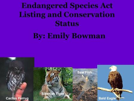 Endangered Species Act Listing and Conservation Status By: Emily Bowman Cactus Ferrug Siberian Tiger Saw Fish Bald Eagle.