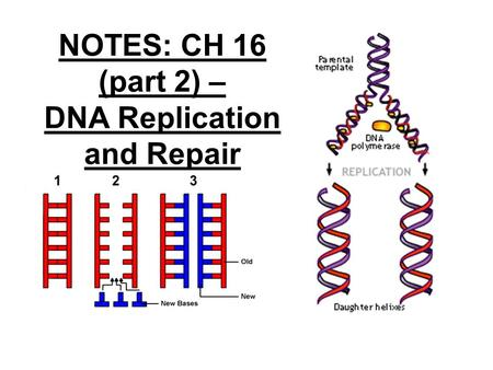 NOTES: CH 16 (part 2) – DNA Replication and Repair.