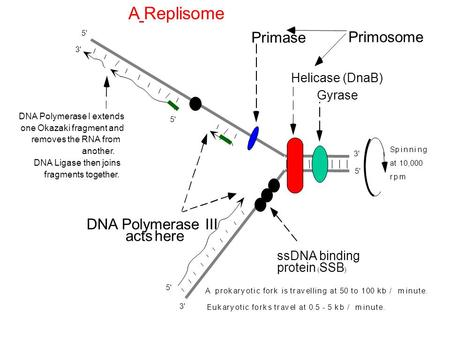 A Replisome Primase Primosome DNA Polymerase III acts here