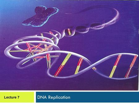 DNA Replication Lecture 7. DNA Replication  Synthesis of two new DNA duplexes based on complementary base sequences with parental DNA.  Is progressive,